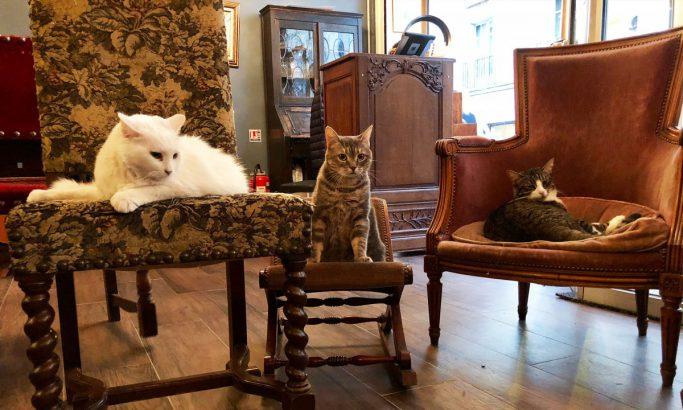 3 chats assis sur des fauteuils dans un bar à chats